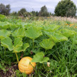 Stock Photo: Orange pumpkin growing on vegetable patch