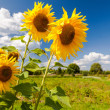 Beautiful yellow sunflowers in the field against blue sky backgr — Stock Photo