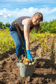 Young woman harvesting potato on the field — Stock Photo
