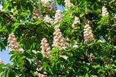 Beautiful white horse chestnut flowers — Stock Photo