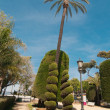 Palm trees and conifers in Cadiz — Stock Photo