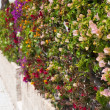 Fence of multicolored flowers bougainvillea — Stock Photo
