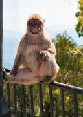 Ape in Gibraltar — Stock Photo