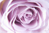 Пастельные тени розы — Стоковое фото