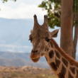 Portrait of giraffe watching on you — Stock Photo