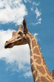 Giraffe portrait on sky background — Stock Photo