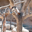 Ring tailed Lemur sitting - Stock Photo