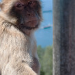 Portrait of ape in Gibraltar — Stock fotografie