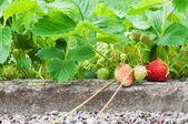 Strawberries growing in the garden — Stock Photo