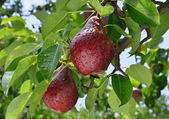 Ripe red pear grows on a branch — Stock Photo