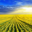 Sunset over the sunflower field — Stock Photo
