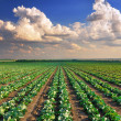 Cabbage field — Stock Photo #22590677