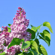 Lilac flowers — Stock Photo #22627299