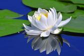White lily on a lake — Stock Photo