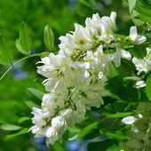 White acacia — Stock Photo