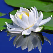 White lily on the lake — Stock Photo