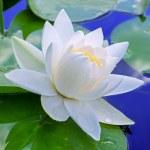 White lily — Stock Photo #24127485