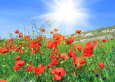 Red poppies on a green meadow — Stock Photo
