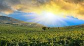 Sunrise over a grape field — Stock Photo