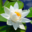 White lily — Stock Photo #46482277