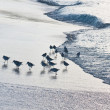 Calidris minutilla flock on the beach - Stock Photo