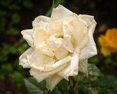 Rosa branca após uma chuva pesada com pingos de chuva — Foto Stock