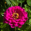 Stock Photo: Zinnia,graceful