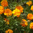 Blooming flowers Marigolds (Tagetes) — Stock Photo