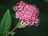 Spiraea japonica. Shallow depth of field — Stock Photo