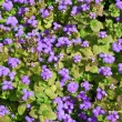 Ageratum. Background — Stock Photo #36288955