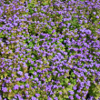 Ageratum. Background — Stock Photo