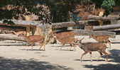 Spotted deers in the world's oldest zoo. Vienna, Austria — Stock Photo