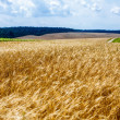 Ripening ears of wheat field. — Foto de Stock