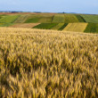 Ripening ears of wheat field. - Stock Photo