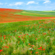 Poppy field. — Stock Photo