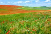 Poppy field. — Stock Photo