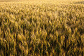 Ripening ears of wheat field. — Stock Photo