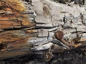 Old dead tree — Stock Photo