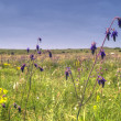Violet flower on steppe - Stock Photo