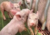 Momma pig feeding baby pigs — Stock Photo
