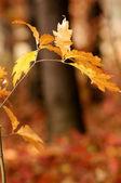 Oak tree in autumn — Stock Photo