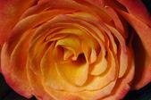 Close up of yellow rose — Stock Photo