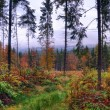 Pine forest after the rain — Stock Photo