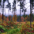 Pine forest after the rain - Stock Photo