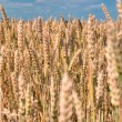Wheat ready for the harvest — Stock Photo