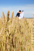Golden ears on the field, in the background of the newlyweds, su — Stok fotoğraf