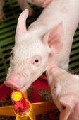Baby pig in a pigsty — Stock Photo