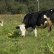 Stock Video: Bull and cow
