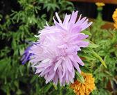 Flower aster — Stock Photo