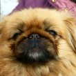 Pekinese dog — Stock Photo